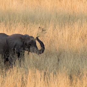 Elephant by VAM Photography - Animals Other Mammals ( nature, ruaha national park, elephant, mamal, tanzania, animal,  )