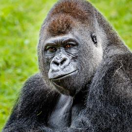 Gorilla by Buddy Woods - Animals Other Mammals ( animals, african, gorillas, fur, gorilla, africa, animal,  )