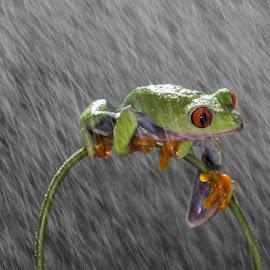Waiting for You by Biru Daun - Animals Amphibians ( macro, frog, rain )