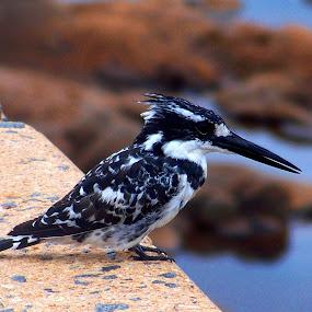 kingfisher by Nicole Janse van Vuuren - Novices Only Wildlife