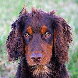 Closeup Cody by Chrissie Barrow - Animals - Dogs Portraits ( cocker spaniel, pet, pup, fur, ears, brown, dog, nose, cream, tan, portrait, eyes )
