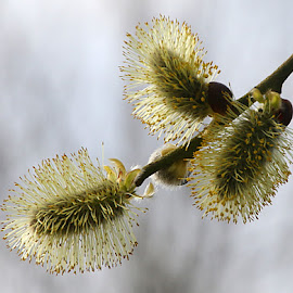 Flowering Pussy Willows by Chrissie Barrow - Nature Up Close Trees & Bushes ( pussy willow, tree, flowering, shrub, bush, catkin, bokeh, closeup )