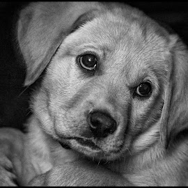 Fury by Dave Lipchen - Black & White Animals ( puppy, yellow lab )