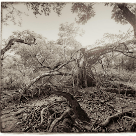 Estival - fallen giants by Annette Flottwell - Black & White Landscapes ( nancite, arboles, guanacaste, marsh, trees, drift, estival )