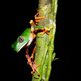 Orange lines monkey frog  by Herpeto Fauna - Animals Amphibians ( hylid, monkey frog, orange, frog )