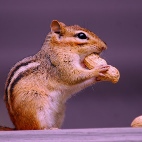 Peanut Happiness!. by Steve Cooper - Animals Other ( chippie, peanut, fuzzy, paws, stripes )