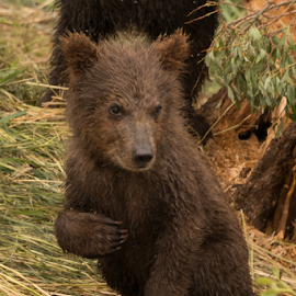 Brown bear cub wth right forepaw raised by Nick Dale - Animals Other Mammals ( grizzly, bear, animals, grass, alaska, brooks falls, wildlife, katmai, brooks camp, leaves, brown bear, cub, predator, trunk, tree, bank, baby, branches, grizzly bear )