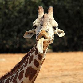 Giraffe by Lisa Silva - Animals Other ( tongue, giraffe, wildlife, africa )
