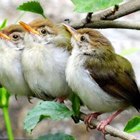 3 Innocent Idots by Subrata Sarkar - Animals Birds ( nature, birds )