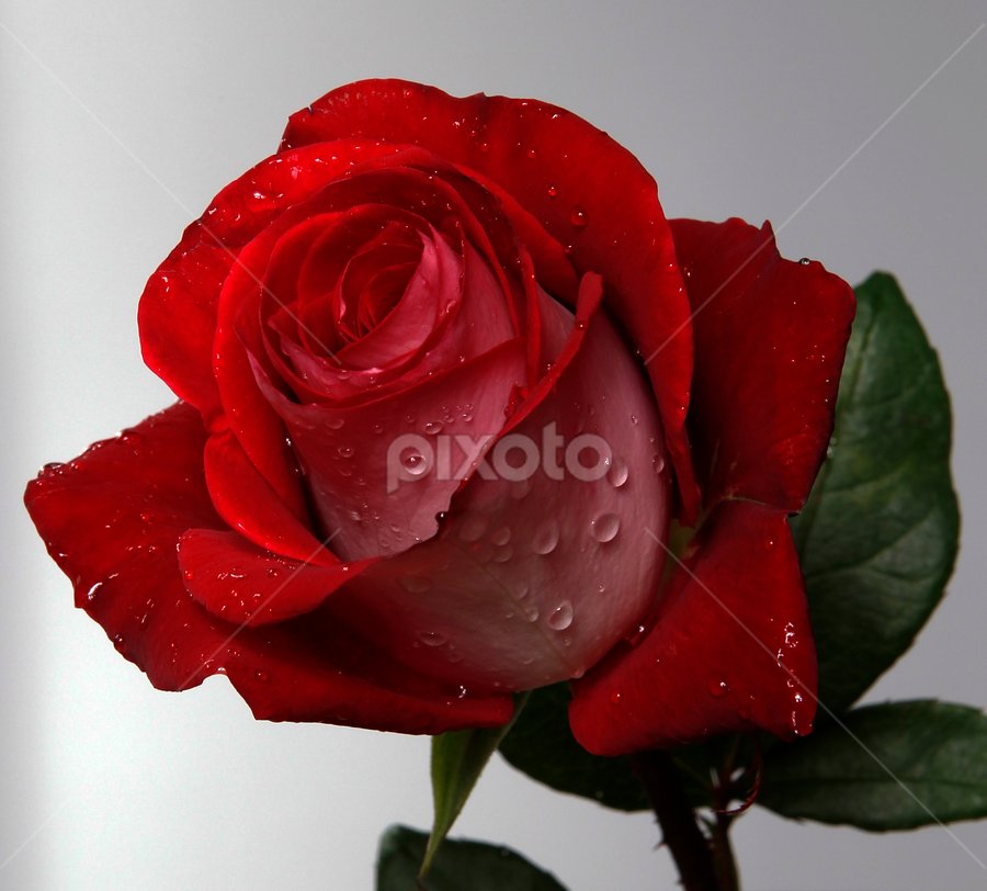 Red Rose with drops by Cristobal Garciaferro Rubio - Nature Up Close Flowers - 2011-2013 ( water, rose, red, bi-tone, rosa, petals, drop, drops, flowers, flower, petal )