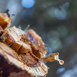 Smola by Ivan Milosevic - Nature Up Close Trees & Bushes ( baum, smola, natur, ast, trees, close up, drvo, close, up )