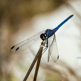 Sitting Blue by Adriaan Vlok - Animals Insects & Spiders ( sitting blue dragonfly, dragonfly, sitting dragonfly, blue drgon fly )