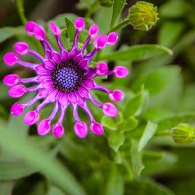 by Christine Weaver-Cimala - Flowers Single Flower ( osteospermum, lilac, spoon, hybrid, flower )