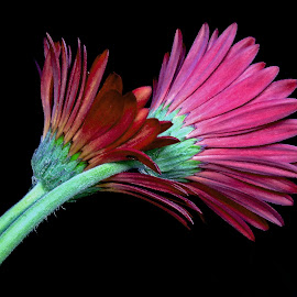 Gerbera by Asif Bora - Instagram & Mobile Other