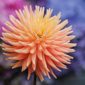 Spiked orange dahlia by Jim Downey - Flowers Single Flower ( orange, red, blue, yellow, petals )