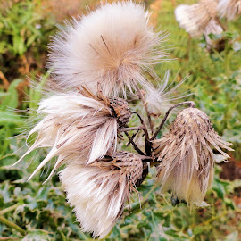 Fluff by Marion Metz - Nature Up Close Other plants ( plant, wilderness, nature, fluff, new zealand )