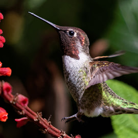 Up Up and Away by Raphael RaCcoon - Animals Birds ( bird, wings, hummingbird, humming bird, hummer )