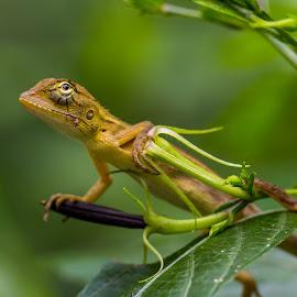 Looking Up. by John Greene - Animals Reptiles ( macro, lizard, cnon 180mm, green, green background, john greene )