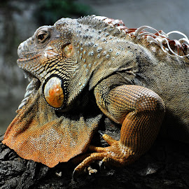 Posing for me by Paras Bhalla - Animals Reptiles ( contrast, indoor, textures, colors, light )
