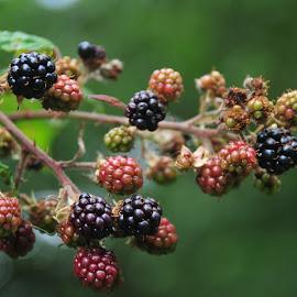 Blackberries by Doug Faraday-Reeves - Nature Up Close Gardens & Produce ( blackberries )