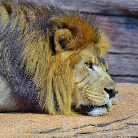 Day Dreaming by Patricia Warren - Animals Lions, Tigers & Big Cats