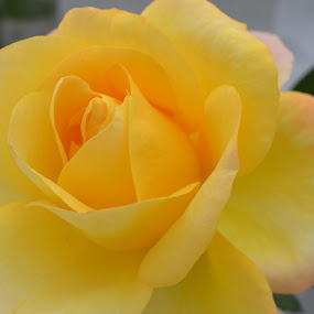 by Neha Neekhra - Nature Up Close Flowers - 2011-2013 ( rose, shades, pwcflowergarden, tint, yellow )