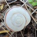 Southwestern US Talussnail (shell)