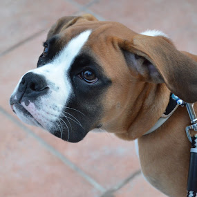 Boxer puppy kids Best friend by Pantelis Orfanos - Animals - Dogs Puppies ( cute face, boxer puppy, boxer, kids best friend )