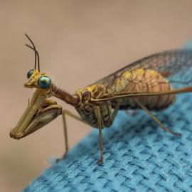 Mantispa styriaca macro by Claudia Weber-Gebert - Animals Insects & Spiders ( macro, nature, wildlife, mantis, insect, mantispa styriaca, close up, animal )
