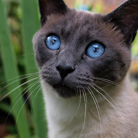 siamese by Sue Rickhuss - Animals - Cats Portraits