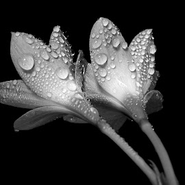 Rain Lily  by Asif Bora - Black & White Flowers & Plants