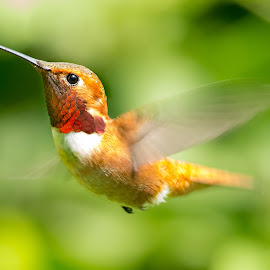 Anna's Hummingbird by Sheldon Bilsker - Animals Birds ( bird, hummingbird )