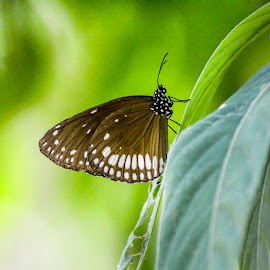Butterfly by Malay Maity - Animals Insects & Spiders ( butterfly )