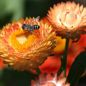 A Day at the Huntington by Randi Hodson - Flowers Flower Gardens ( orange, bee, yellow, flowers, garden,  )