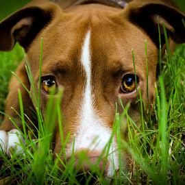 by Shari Nitz - Animals - Dogs Playing (  )