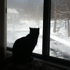 cat looking out window at winter snowstorm by Theresa Hughes - Animals - Cats Portraits (  )