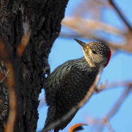 Where's the sun? by Christo W. Meyer - Novices Only Wildlife ( bird, wildlife, woodpecker, africa, birds )