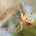 Scaffold web spider