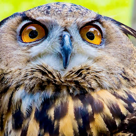 What Big Eyes You Have by Ken Nicol - Animals Birds (  )