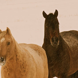 Winter Horses by Drake Reed - Animals Horses