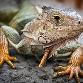 Look by Viktoryia Vinnikava - Animals Reptiles ( green, outdoor, wildlife, malaysia, reptile, eye,  )