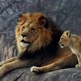 Lion and Cub by Jack Powers - Animals Other Mammals