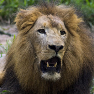 lion 2-2426.jpg