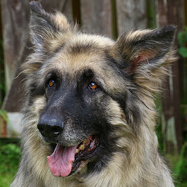 Lovely Boy by Chrissie Barrow - Animals - Dogs Portraits ( tongue, pet, silver, male, german shepherd dog, ears, elderly, dog, nose, black, portrait, sable, eyes )