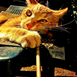 Red playing by Redski Pictures - Animals - Cats Playing ( playing, chair, cat, sun, eyes, animal )