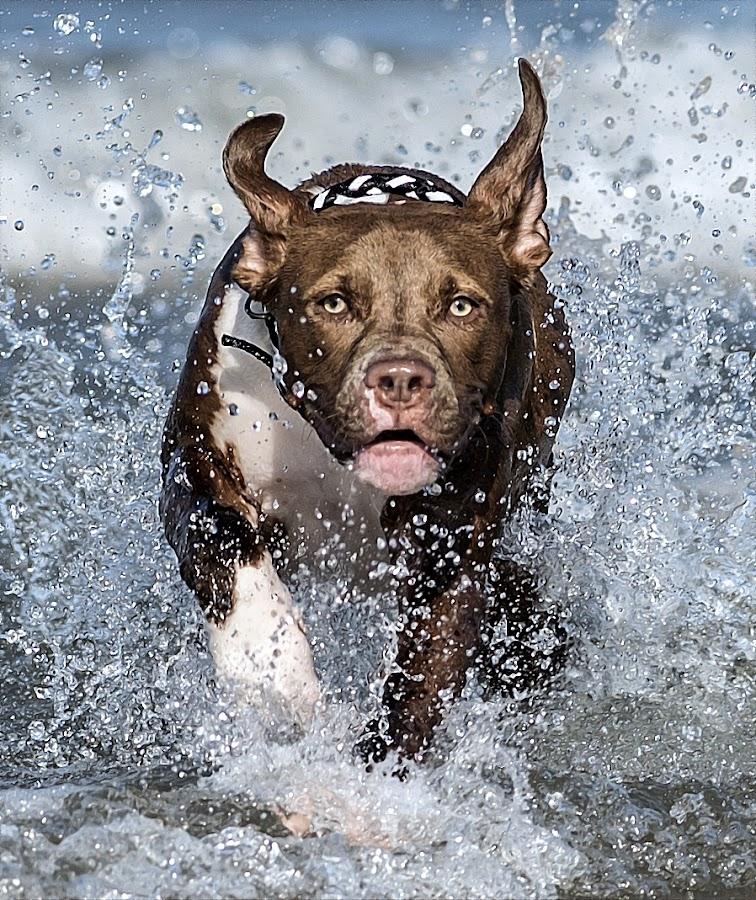 by Harold Blum - Animals - Dogs Running ( spray, summer, lake, dog, swimming )