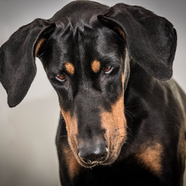 What the by Petra Bensted - Animals - Dogs Portraits ( face, attitude, pet, paws, dog, doberman, tan, black, eyes )