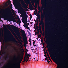 Jellyfish  by Anthony Schwab - Animals Sea Creatures ( anthonyschwab.com, sea creatures, photography, jellyfish )