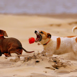 by Melody Pieterse - Animals - Dogs Playing (  )
