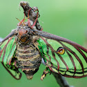 Spanish Moon Moth; Mariposa Isabelina